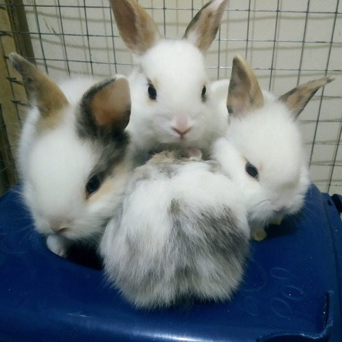 mini coelho da raça netherlands dwarf puros