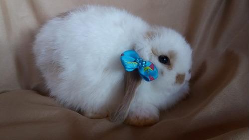 mini coelho -  maricá - rio