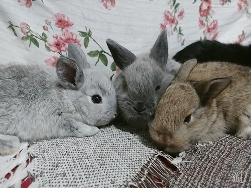mini coelhos já disponíveis mini lop