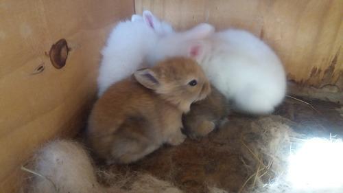 mini coelhos legítimos da raça lion head coelho anão