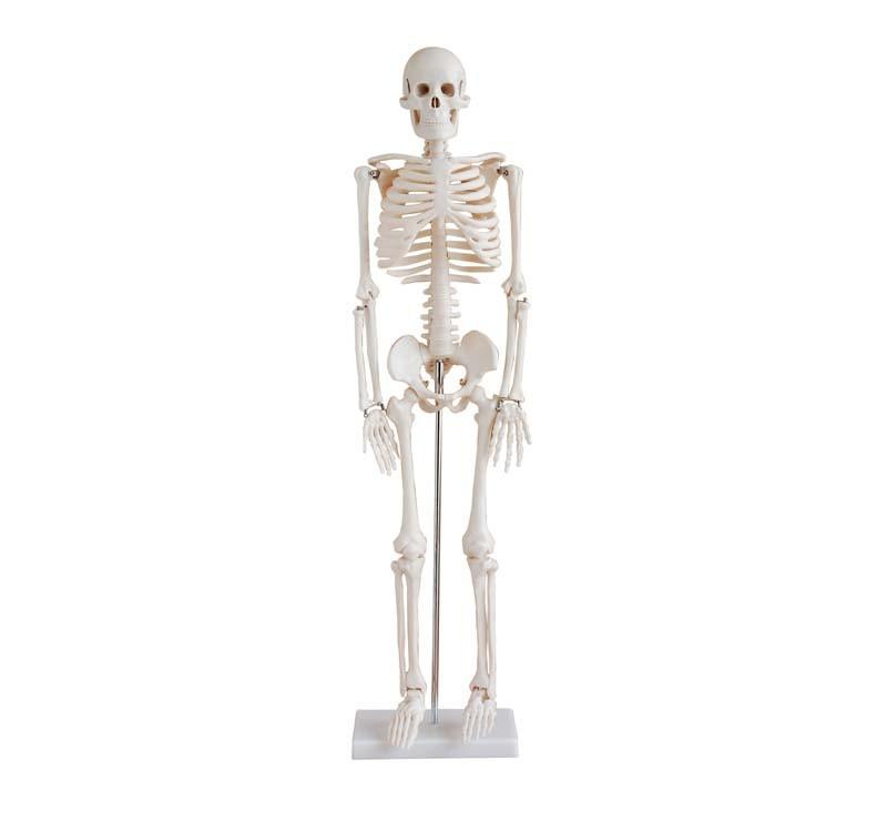 Mini Esqueleto Humano Pvc Para Estudio 0,85 M De Altura - $ 2.090,00 ...