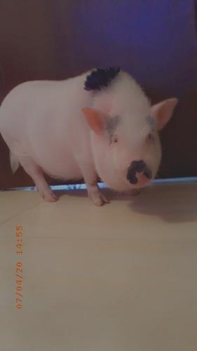 mini pig rosada de 5 meses.
