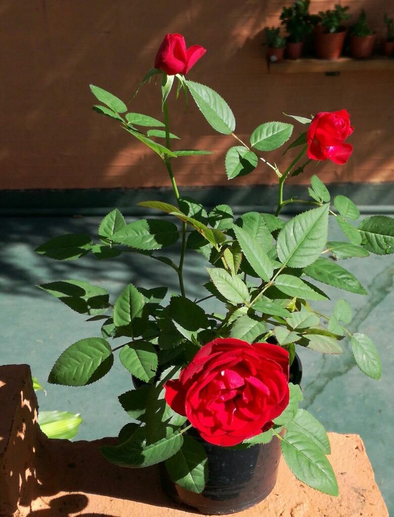 Mini Rosas Mac N 17muy Bonitas