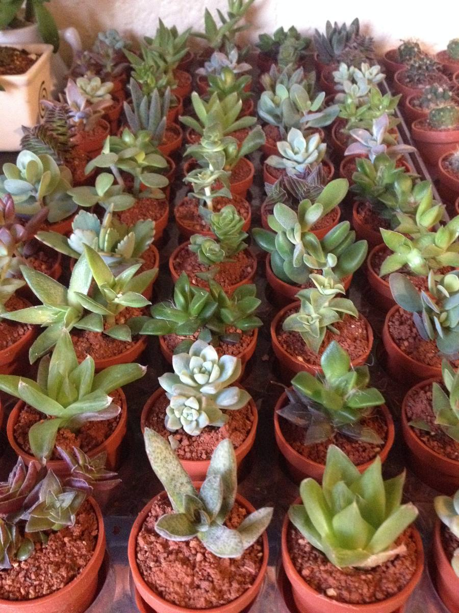 Mini terrarios cristal cactus miniatura plantas for Vivero de cactus en chile