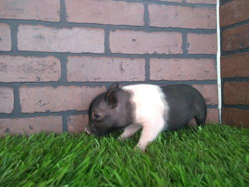 minipig mini pig minipigs mini pigs cerdito