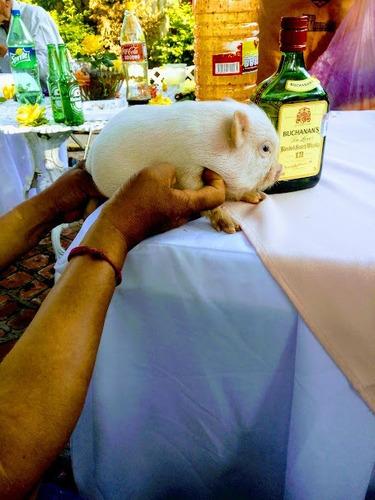 minipigs rositas mini pigs