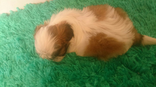 minúsculo macho de lhasa apso miniatura