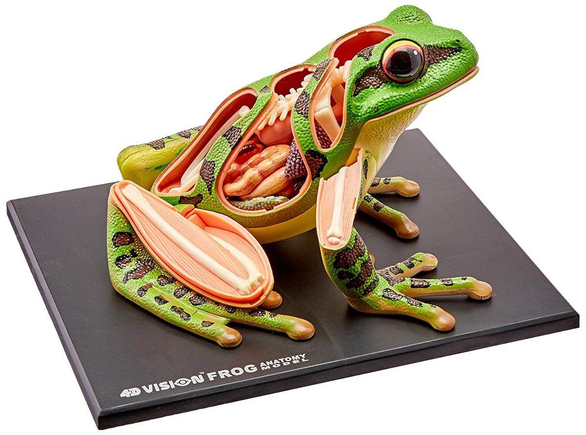 Modelo 4d Visión Rana Anatomía - $ 1,751.55 en Mercado Libre