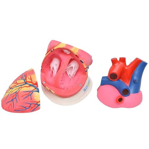 modelo anatômico coração ampliado dividido 3 partes sd5048