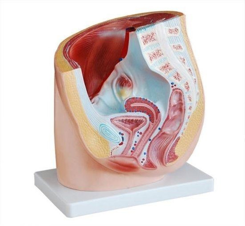 modelo anatômico da pelve feminina - med