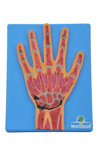 modelo anatômico - secção mediana da mão sd5033