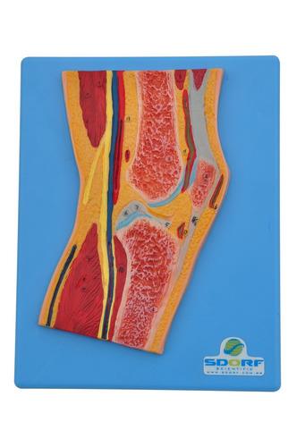 modelo anatômico - secção mediana do joelho sd5035