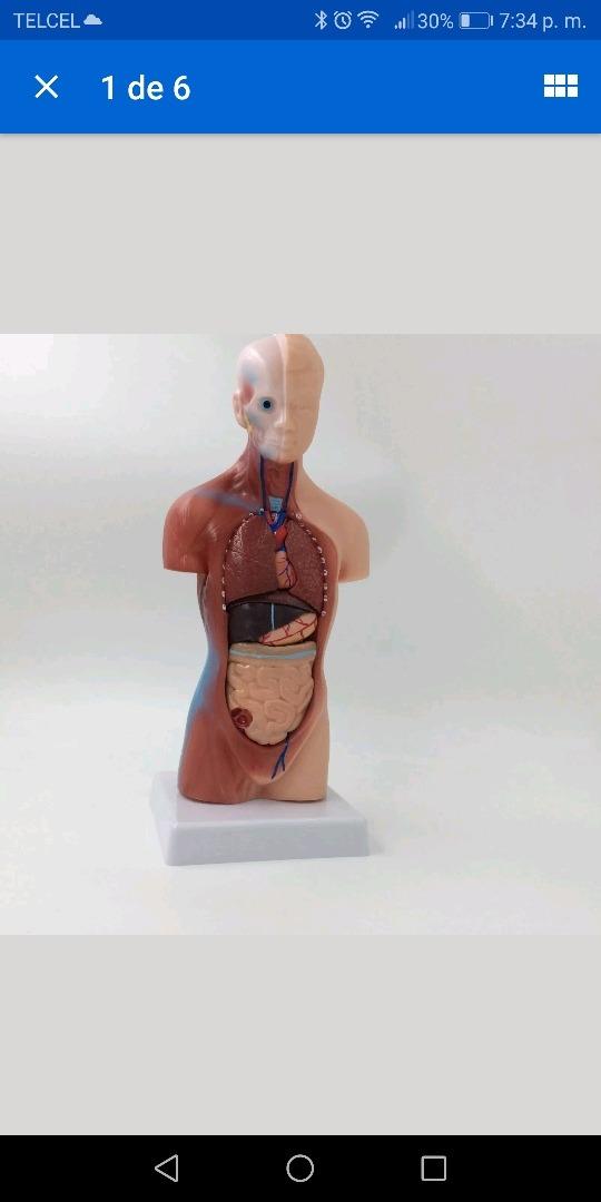 Modelo Anatomia Craneo Torax Abdomen - $ 2,100.00 en Mercado Libre