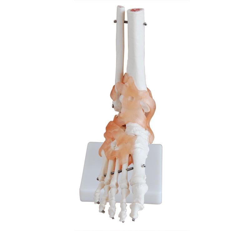 Modelo Anatomía - Pie Humano Con Ligamentos Didáctico - $ 1.400,00 ...