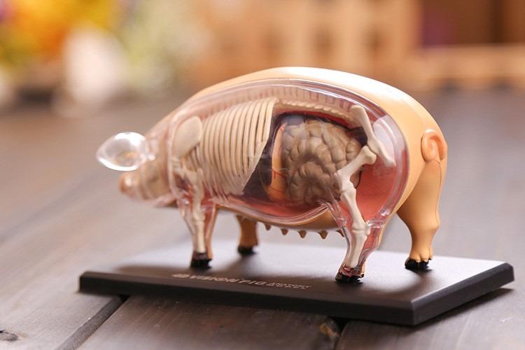 Modelo Anatomico 4d El Cerdo Increible Importado Anatomia ...