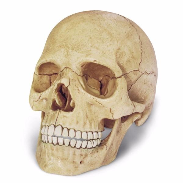Modelo Anatomico 4d El Craneo Importado - $ 129.900 en Mercado Libre