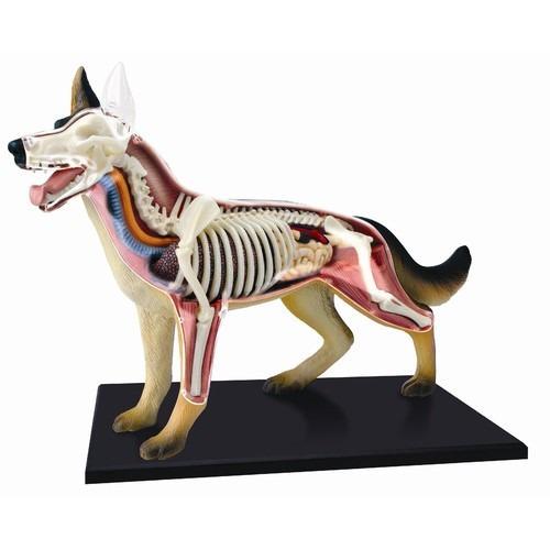 modelo anatomico 4d el perro increible importado anatomia