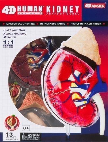 modelo anatomico 4d el riñon tamaño real importado