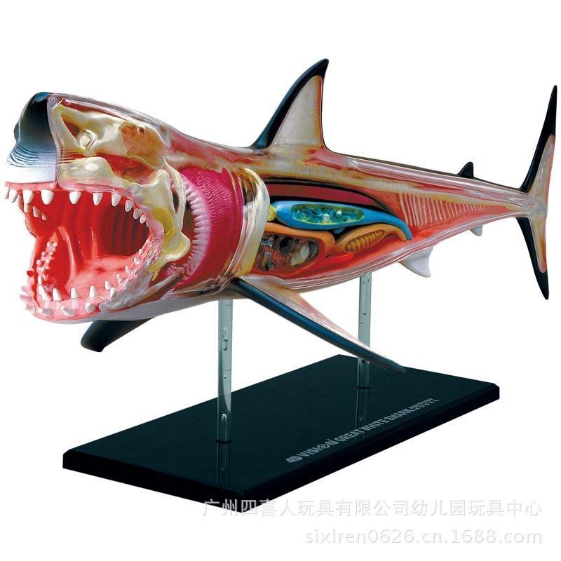 Modelo Anatomico 4d El Tiburon Increible Importado Anatomia ...