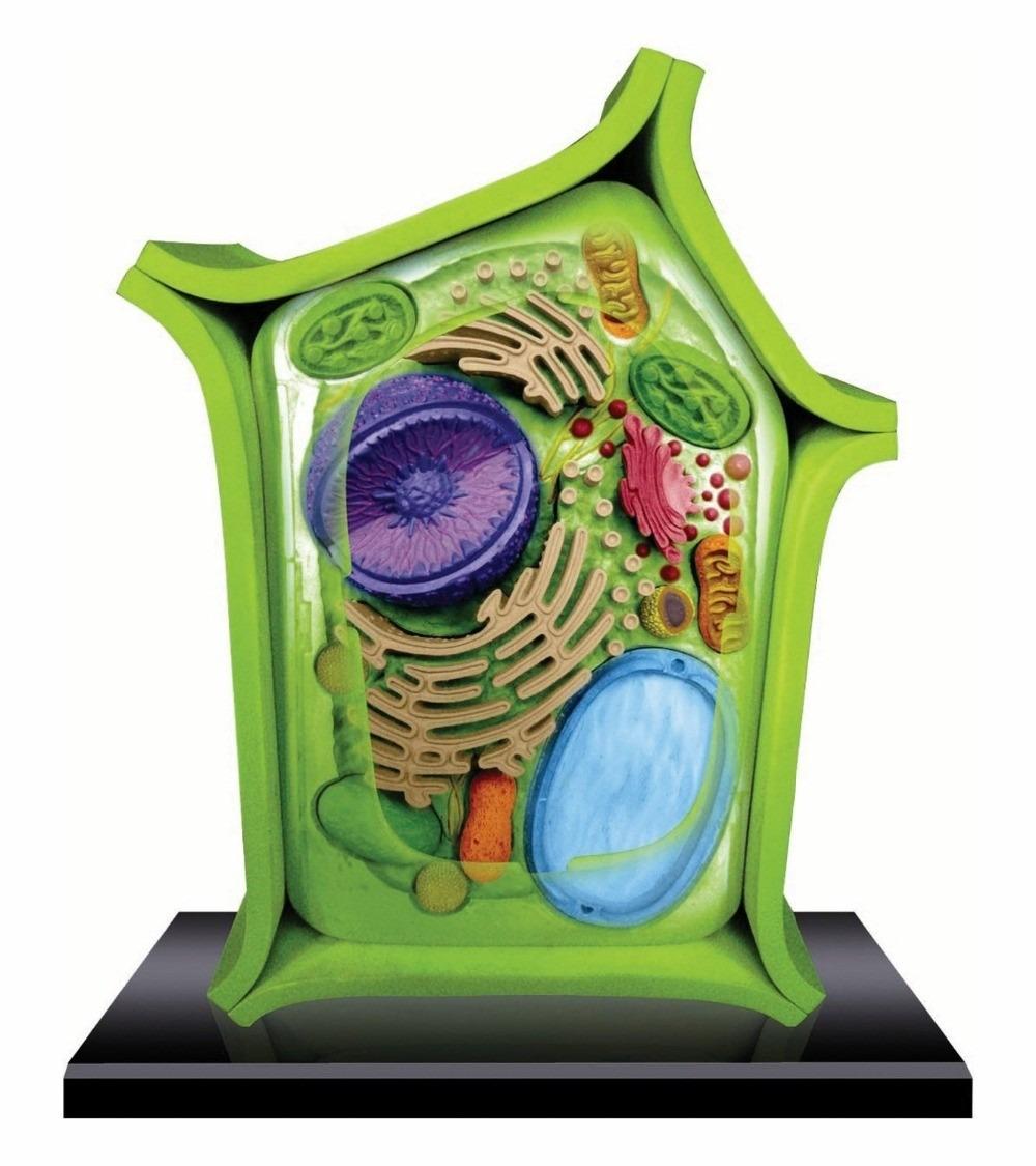 Modelo Anatomico 4d La Celula Vegetal Importado Anatomia - $ 179.900 ...