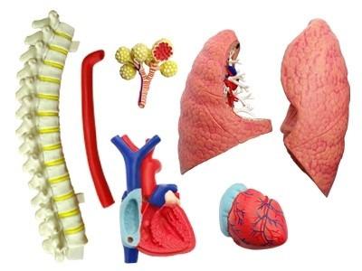 modelo anatomico 4d sistema respiratorio de lujo importado