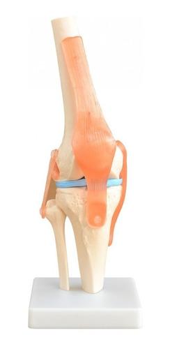 modelo anatomico articulacion rodilla humana envio inmediato
