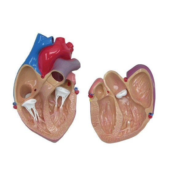 Modelo Anatomico Corazon Gpianatomicals - $ 1,500.00 en Mercado Libre