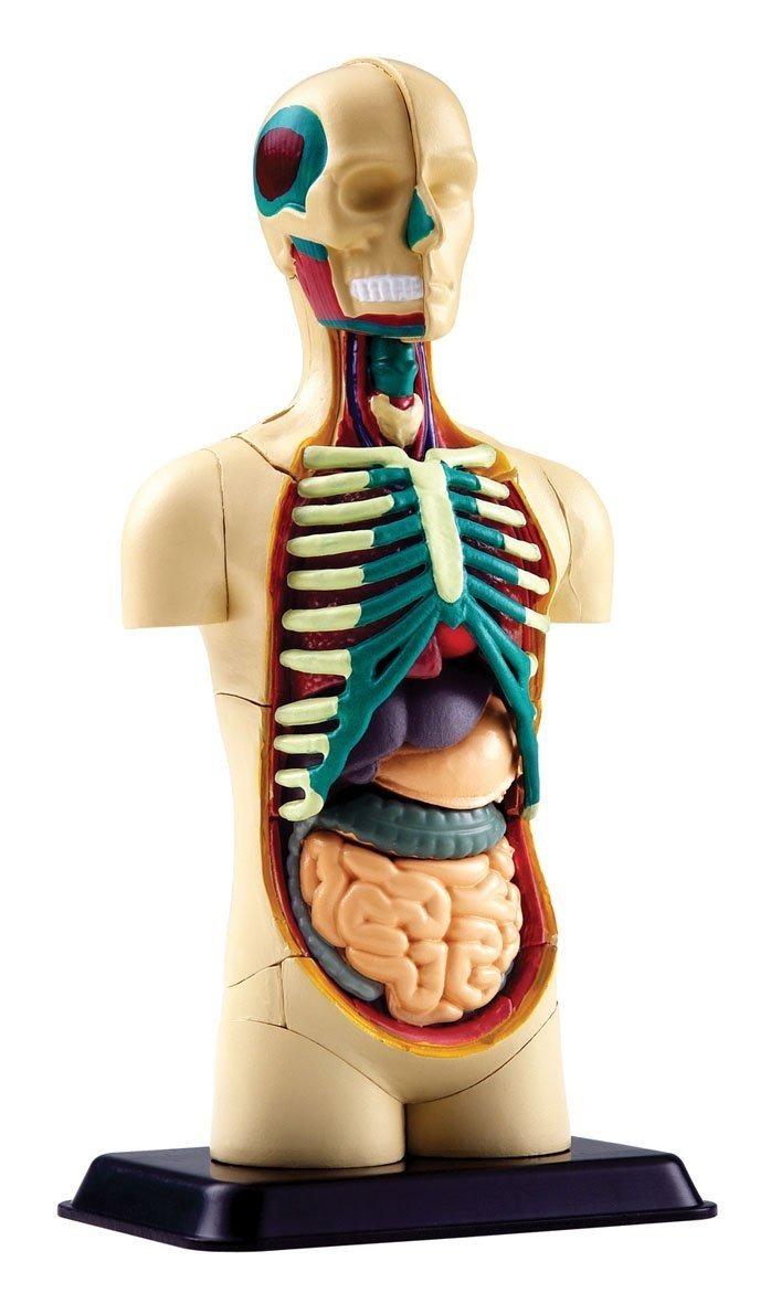 Asombroso Esqueleto Humano Con Huesos Marcados Regalo - Anatomía de ...