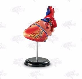Modelo Anatomico De Corazón Xtreme P