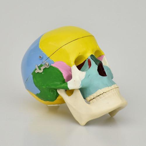 modelo anatómico de cráneo pequeño de colores, medicina