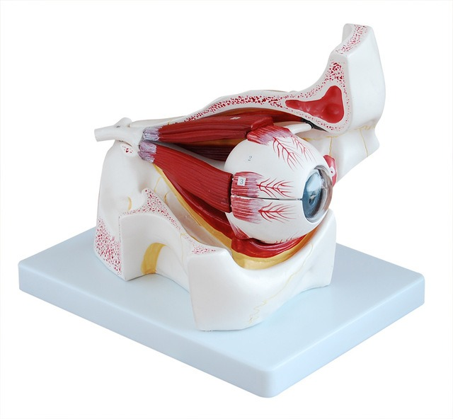 Modelo Anatómico De Ojo Humano - U$S 98,00 en Mercado Libre