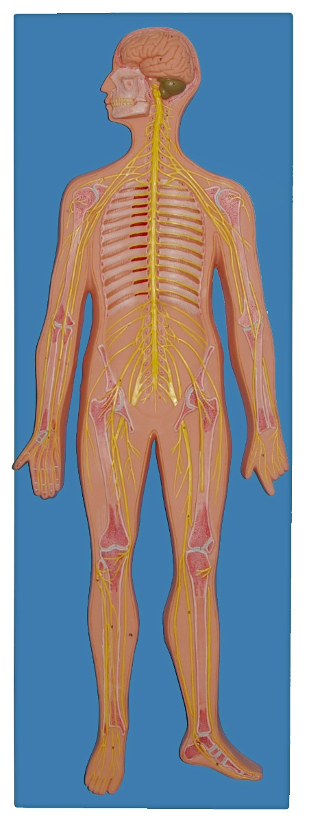 Modelo Anatomico De Sistema Nervioso Tabla De Enseñanza - $ 4,460.00 ...