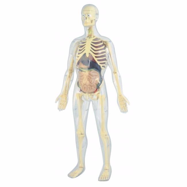 Modelo Anatomico Del Cuerpo Humano Esqueleto Organos 56 Cms ...