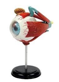 modelo anatomico del ojo humano armable importado