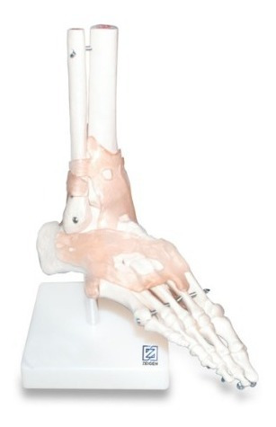 modelo anatomico educacion