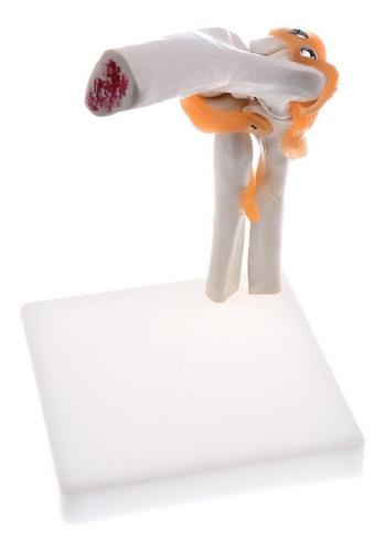 modelo anatómico interactivo de codo