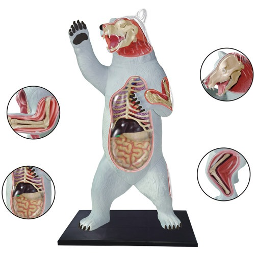Modelo De Anatomía Del Oso Pardo - $ 160.111 en Mercado Libre