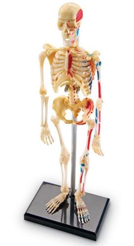 modelo de anatomía humana 4d  esqueleto humano 41 piezas