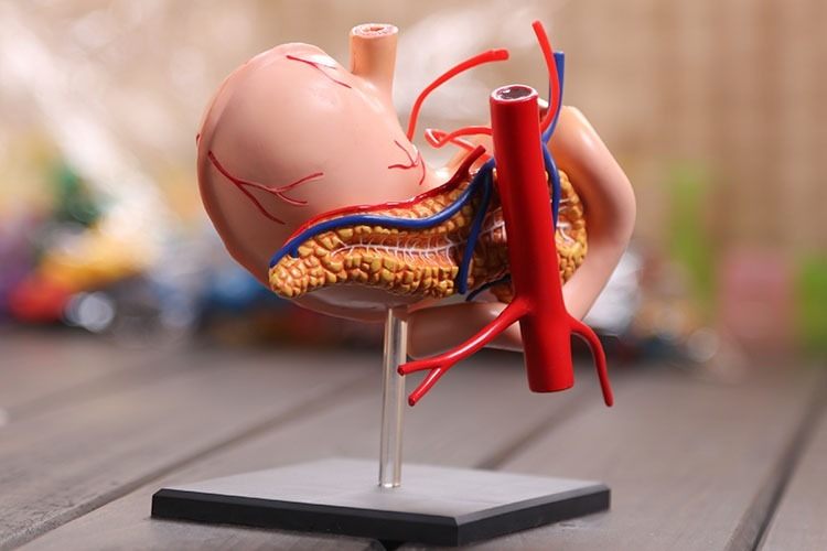 Modelo De Anatomía Humano Estómago Sin Uso - $ 1.300,00 en Mercado Libre