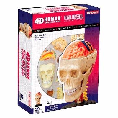 modelo de anatomia para ensino crânio e sistema nervoso