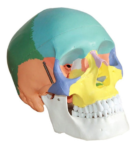 modelo de cráneo a escala real, 3 partes coloreadas