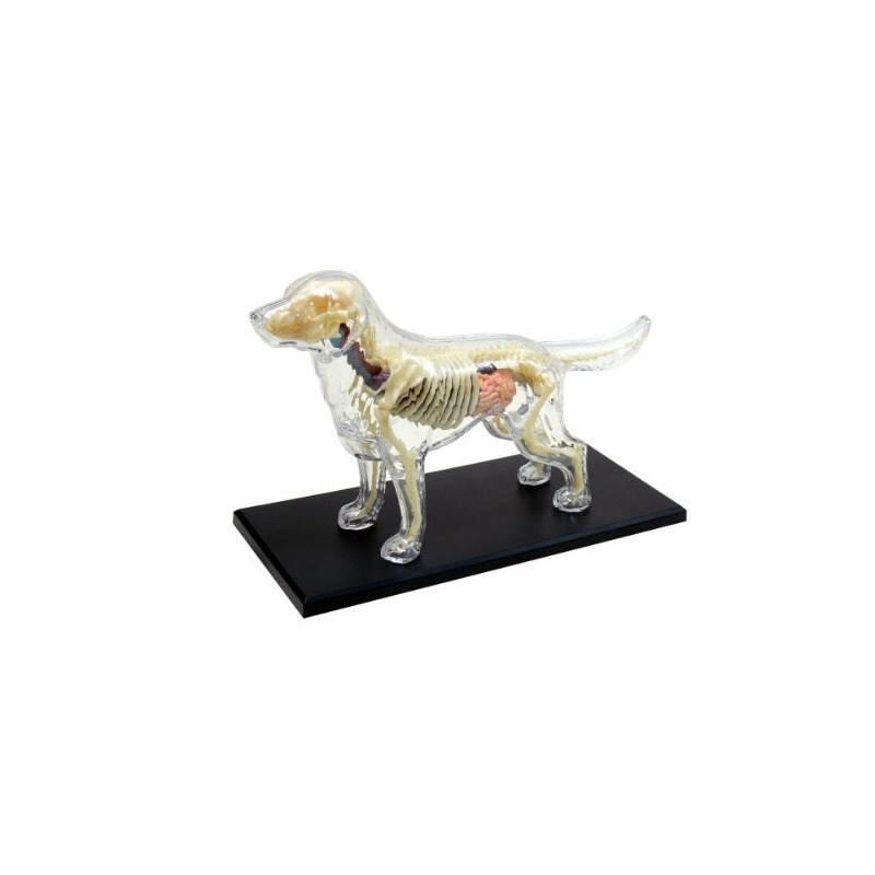 Modelo De Esqueleto De Anatomía De Perro (modelo De Plástico ...