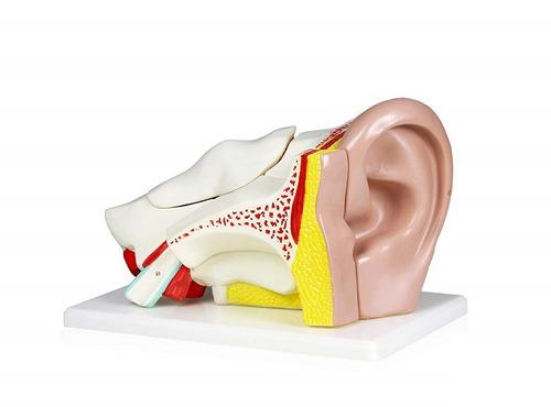 modelo de ouvido ampliado em c/ 6 partes - medicina