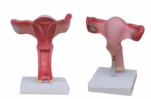 modelo de útero humano para estudio