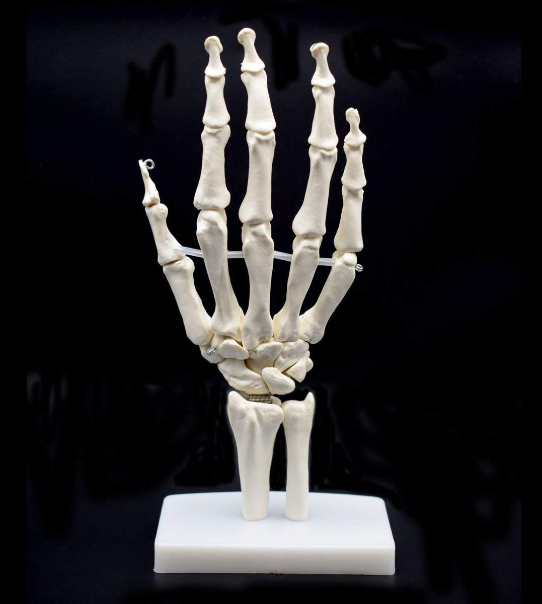 Modelo Del Esqueleto Humano Sobre La Base De La Mano, La Man ...