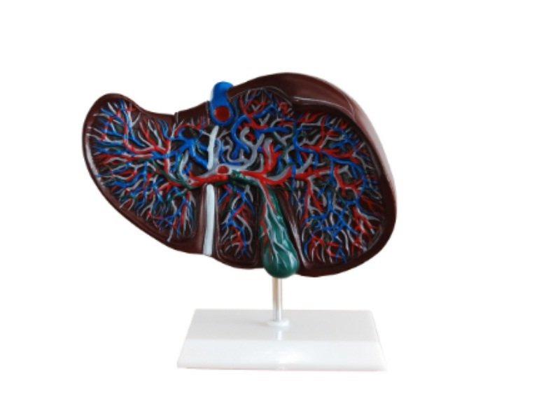 Modelo Del Hígado Humano Con Vesícula Biliar/ Para Estudio - U$S 73 ...