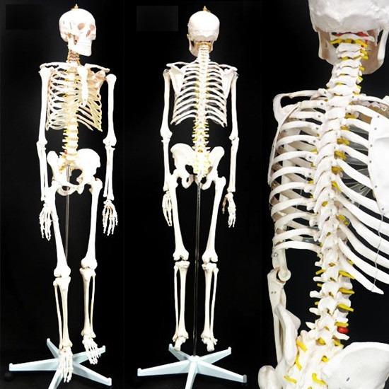 Modelo Didactico Esqueleto Humano Tamaño Real 170cm - $ 5.299,99 en ...