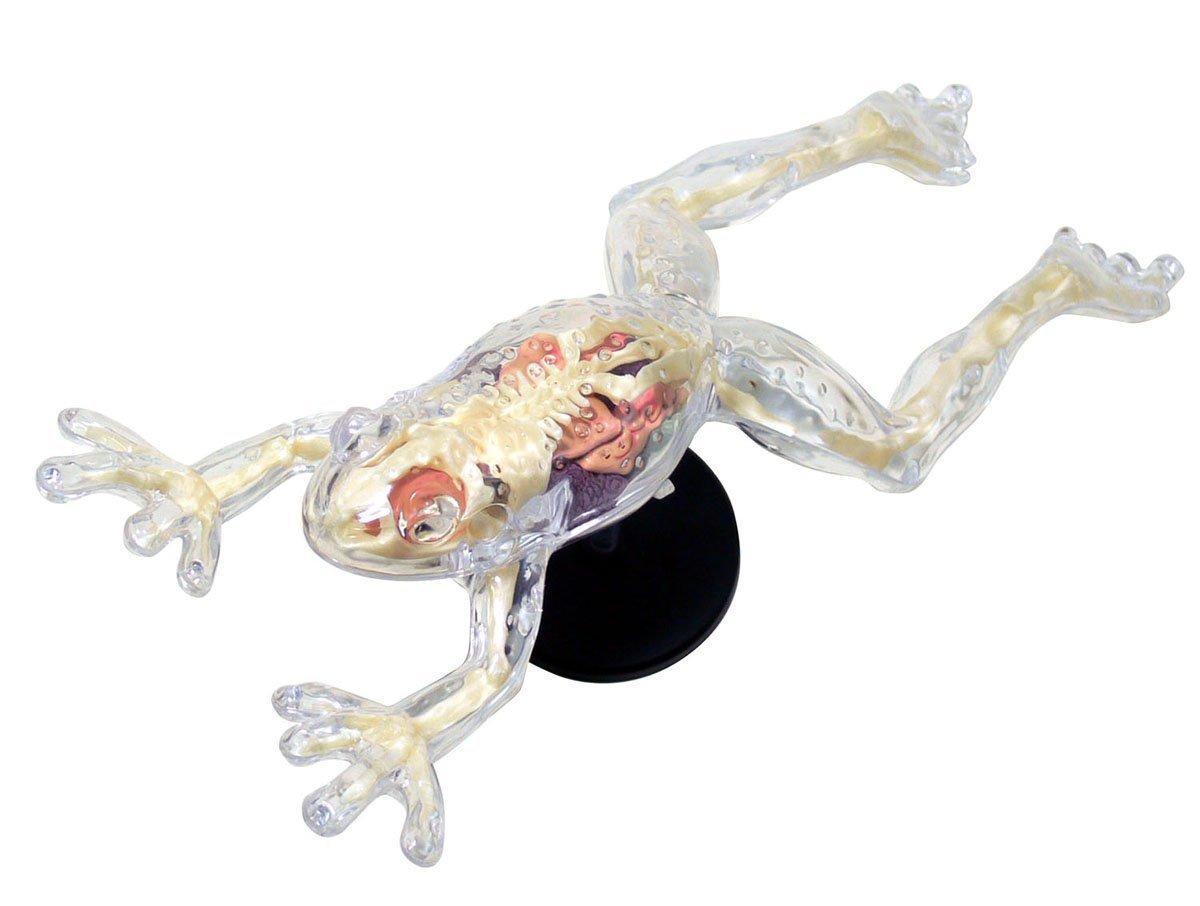 Modelo Esqueleto De La Anatomía De La Rana No.13 Skynet R ...