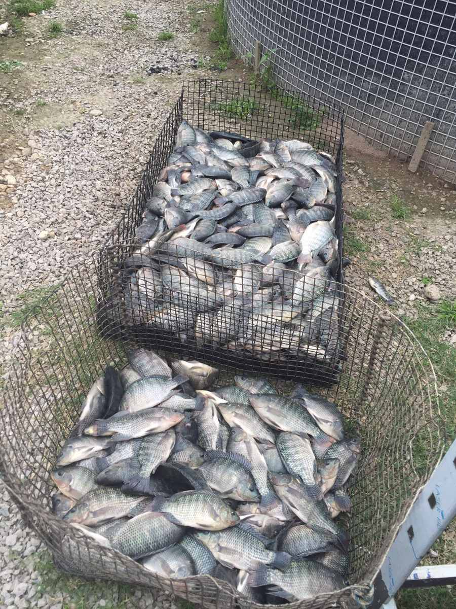 Mojarra tilapia de granja en mercado libre for Proyecto de criadero de mojarras