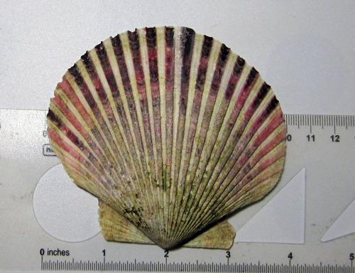 molde de silicona  concha shell 131